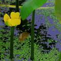 写真: コウホネの花