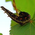 写真: セスジスズメの幼虫(蛾)