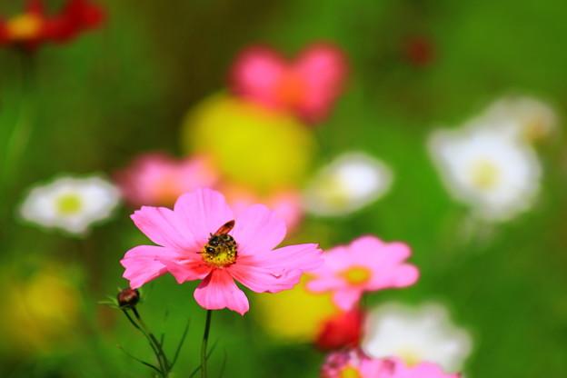 写真: コスモスと蜂(都市農業公園)