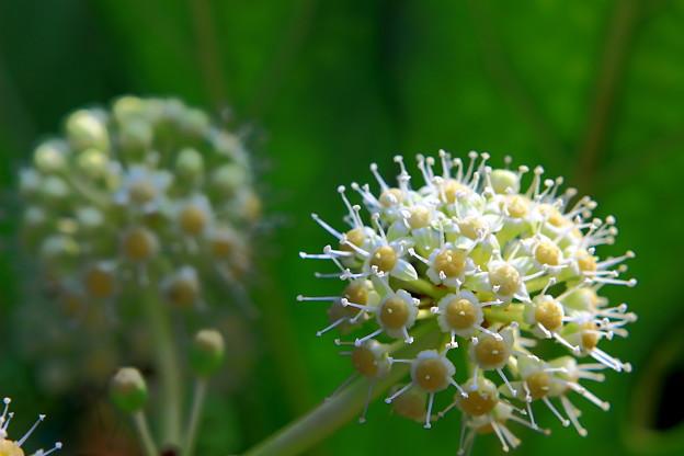 八つ手の花