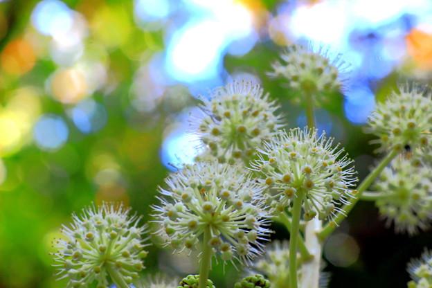 林の中のヤツデの花