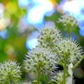 写真: 林の中のヤツデの花