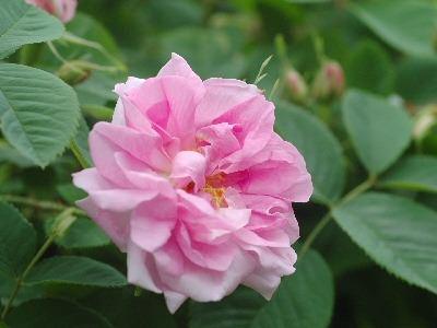 バラ・薔薇