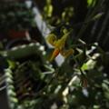 ミニトマトの花はまだ咲いている