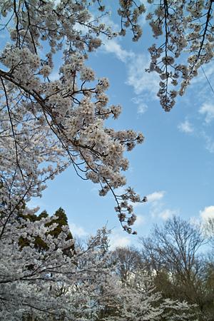 Cherry_blossom04162011dp2-2