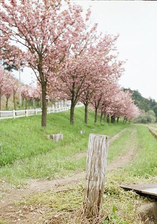 Yaezakura_OLYMPUS_PEN_FT_Kodak_PORTRA160NC_05092011-04