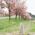 Photos: Yaezakura_OLYMPUS_PEN_FT_Kodak_PORTRA160NC_05092011-04