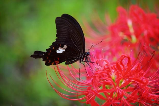 モンキアゲハと彼岸花@英勝寺 #湘南 #鎌倉 #kamakura #寺 #花 #flower #彼岸花 #蝶 #swallowtail #butterfly