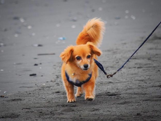 お散歩ワンコ@湘南・鵠沼海岸 #湘南 #藤沢 #海 #波 #wave #surfing #mysky #犬 #dog #animal