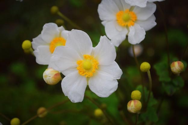 秋明菊@長谷寺 #湘南 #鎌倉 #kamakura #寺 #花 #flower