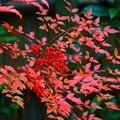 写真: 明月院の南天 #湘南 #鎌倉 #kamakura #寺 #temple #紅葉