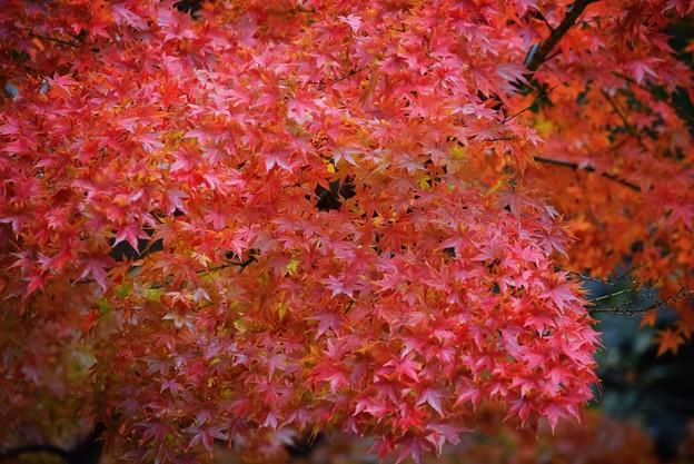 萌える円覚寺の紅葉 #鎌倉 #kamakura #北鎌倉 #寺 #temple #紅葉 #autumnleaves