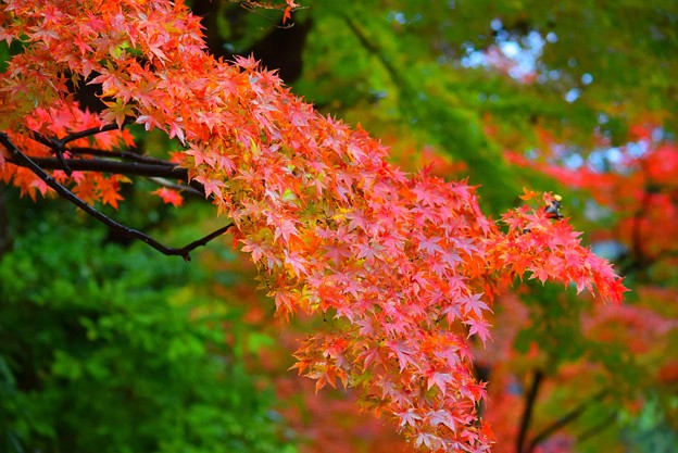 赤く染まる円覚寺の紅葉 #鎌倉 #kamakura #北鎌倉 #寺 #temple #紅葉 #autumnleaves
