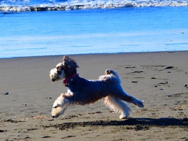 お散歩ワンコ@湘南・鵠沼海岸 #湘南 #藤沢 #海 #波 #wave #surfing #animal #dog #犬