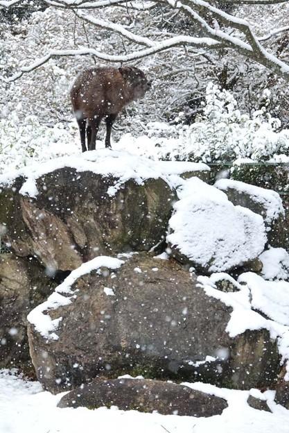 岩の上にたたずむサキさん。@安佐ニホンカモシカ舎