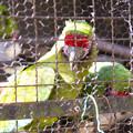 ミドリコンゴウインコ [羽村市動物公園]