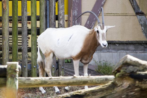 Photos: シロオリックス [羽村市動物公園]