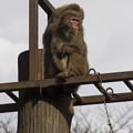 Photos: ニホンザル [羽村市動物公園]