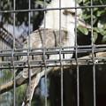Photos: ワライカワセミ [羽村市動物公園]