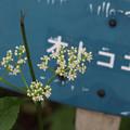 写真: オトコエシ245