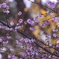 十月桜831sakura