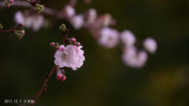 十月桜840sakura