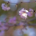 十月桜719sakura
