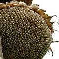 写真: 整列する種子