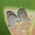 シジミチョウ