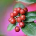 写真: クリスマスホーリー