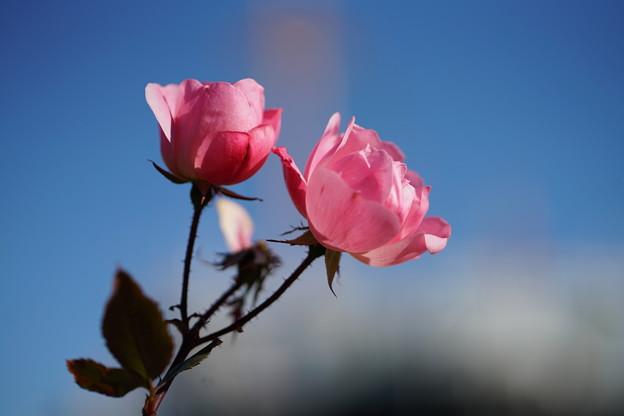Photos: 秋薔薇