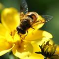 写真: 蜜蜂ビデンス
