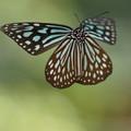 Photos: 飛ぶ蝶