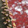 写真: 蔦の葉