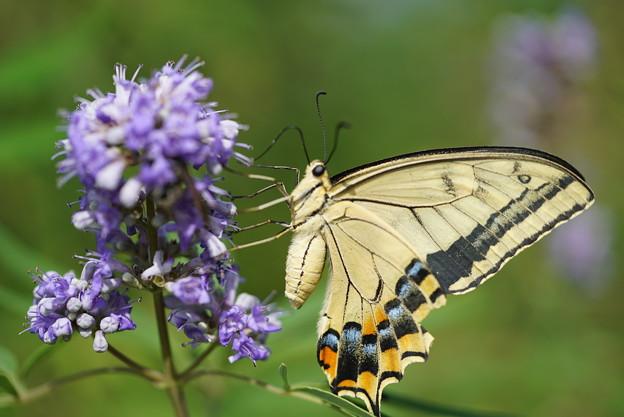 キアゲハチョウ