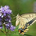 写真: キアゲハチョウ