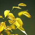 写真: 黄色い葉