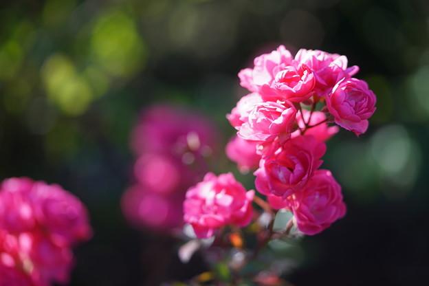 山下公園の薔薇