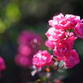 写真: 山下公園の薔薇