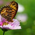 写真: コスモスと蝶