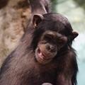 写真: チンパンジー