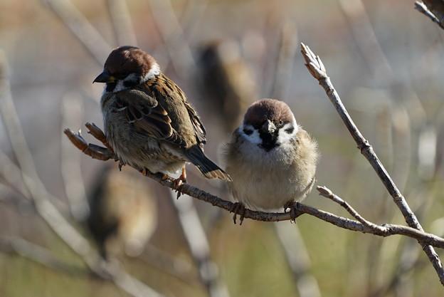 写真: 二羽の雀