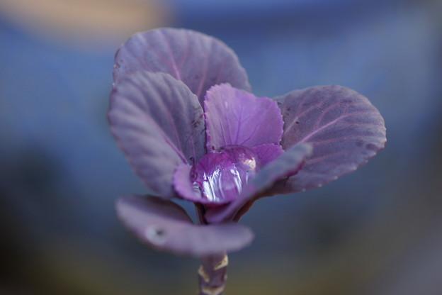 写真: 葉牡丹