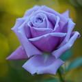 Photos: 紫のバラ
