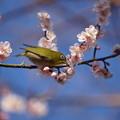 写真: 梅にメジロ