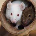 写真: 二匹のハツカネズミ
