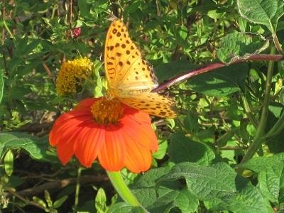 ヒャクニチソウに蝶が^^