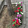 写真: やさしさ~世界に一つだけの花 ~only flower