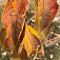 写真: 落ちそうな~枯れゆく落ち葉~autumn in iPhone7Plus