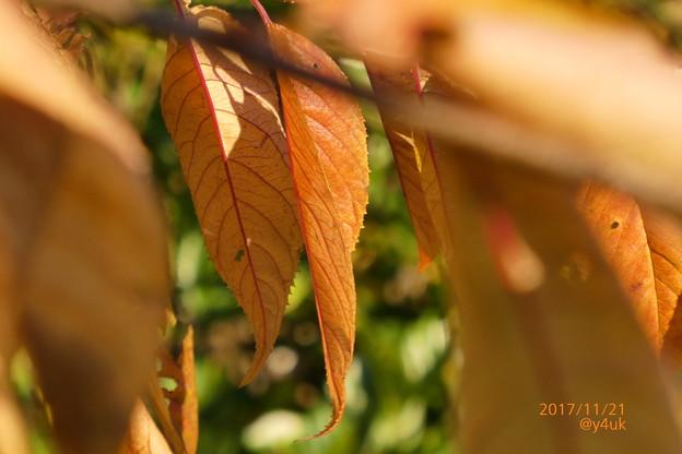 Photos: 紅葉の枯葉~autumn in zoom mix